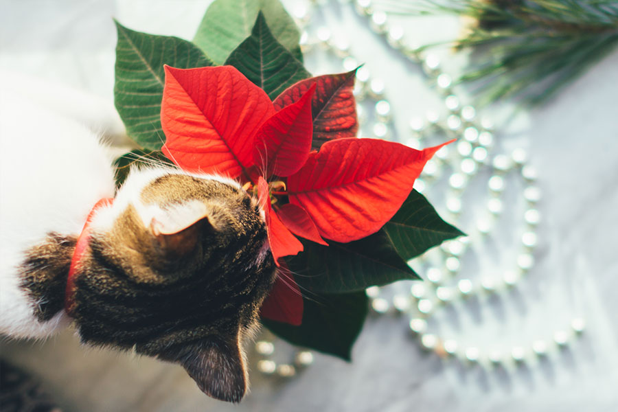 holiday plant dangers pets christmas